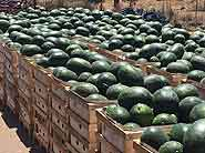 watermelons-on-truck